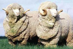 Овечья шерсть: как называется, что делают из нее, характеристики и свойства