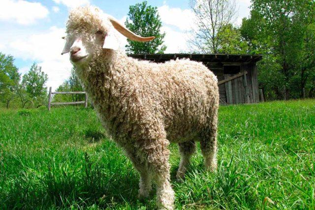 Козья шерсть: гладкокрашеная мягкая ткань из меха коз, описание и применение