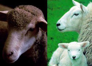Мутон - это мех кого, из какого животного делают, особенности производства